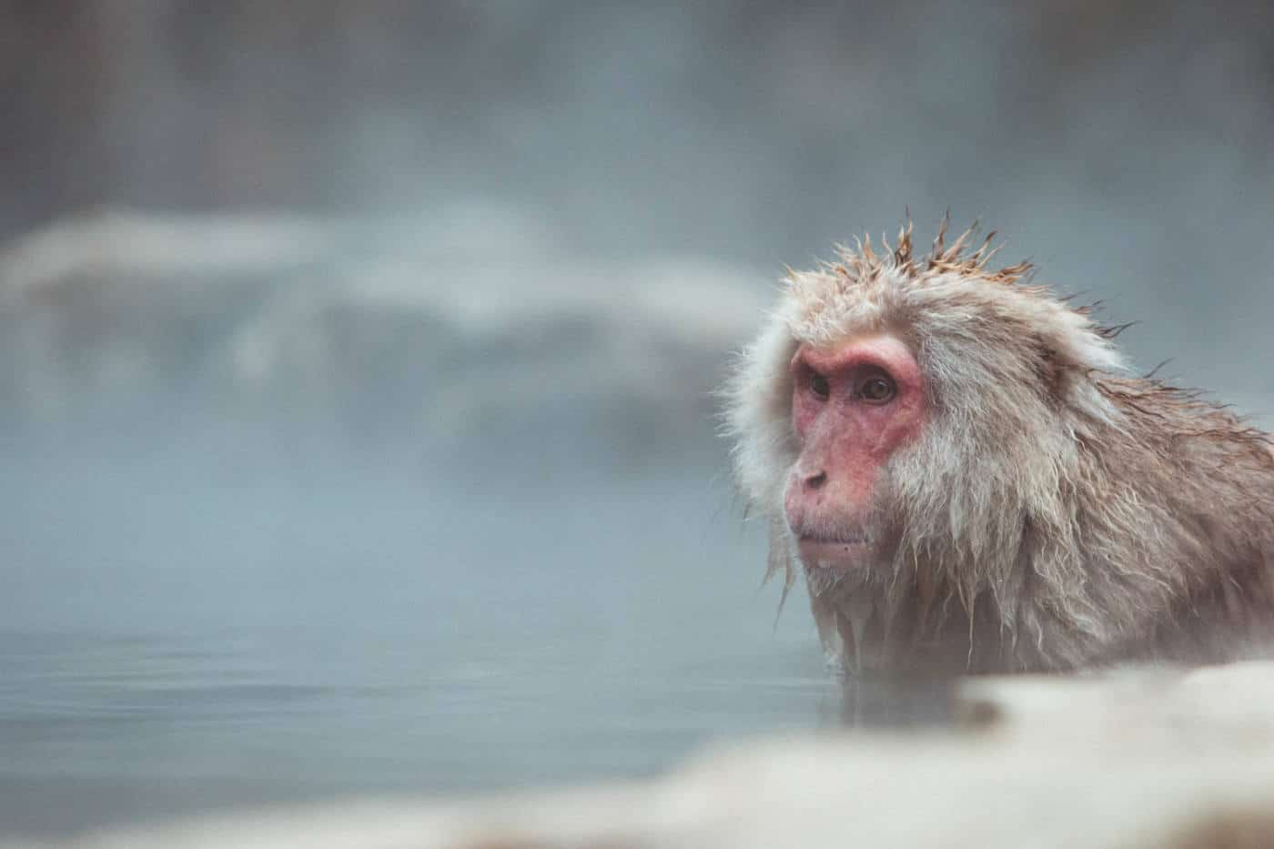Japanese snow monkeys bathing in hot spring onsen in Japan