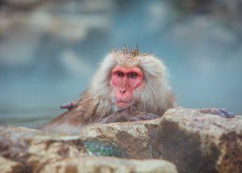Monkeys In Hot Springs: Where to see snow monkeys in Japan