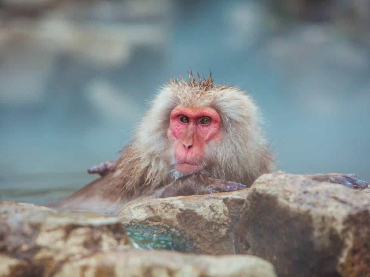Day trip from Tokyo to see the bathing snow monkeys at Jigokudanai monkey park