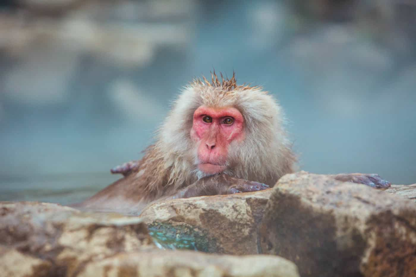 japanese snow monkeys in hot springs