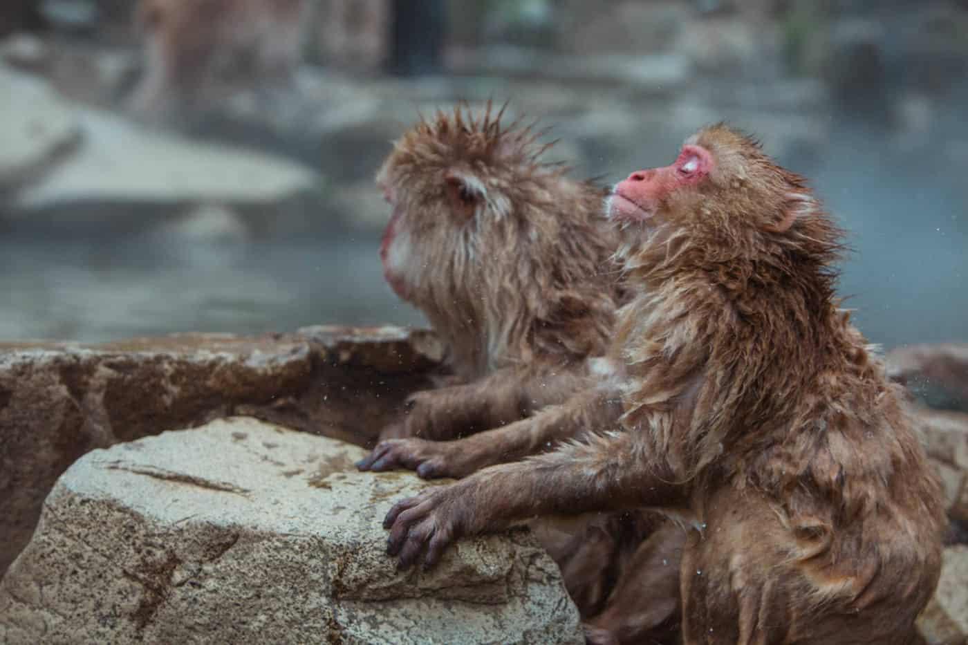 Japanese snow monkeys in hot springs at Jigokudani Monkey Park