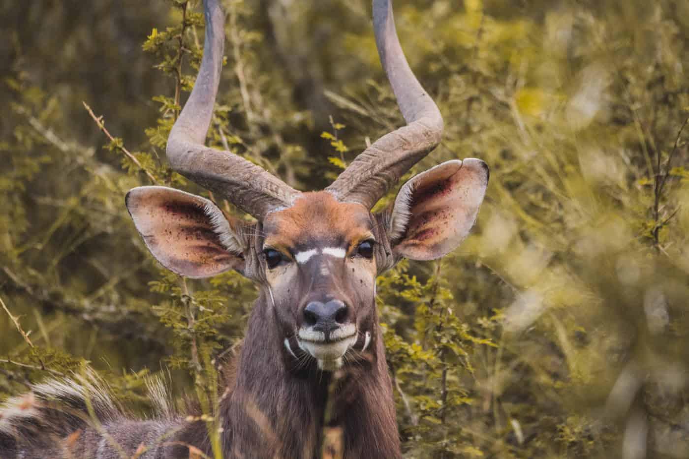 Swaziland safari Mkhaya game reserve kudu