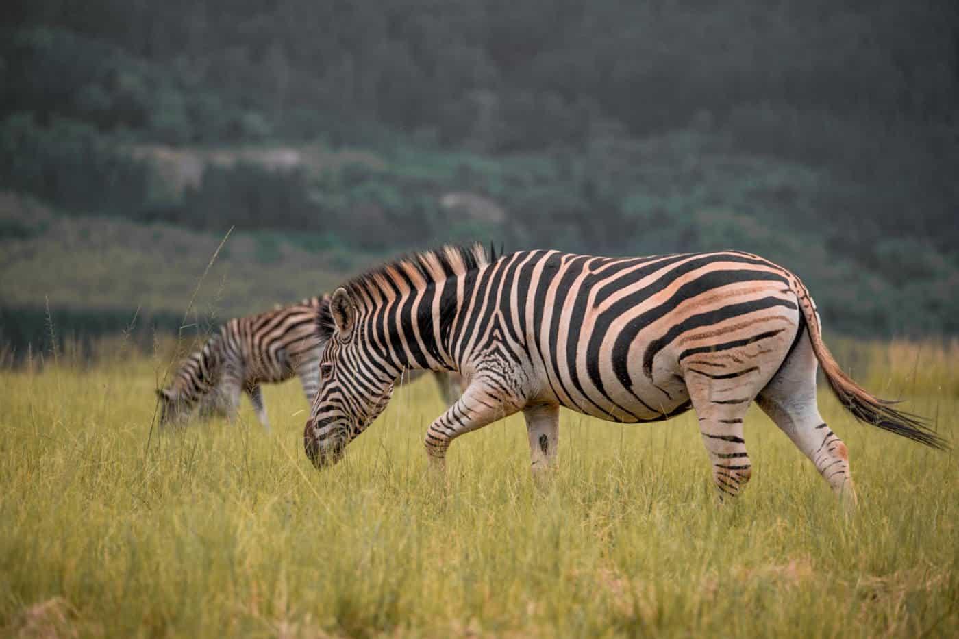 Swaziland safari zebras