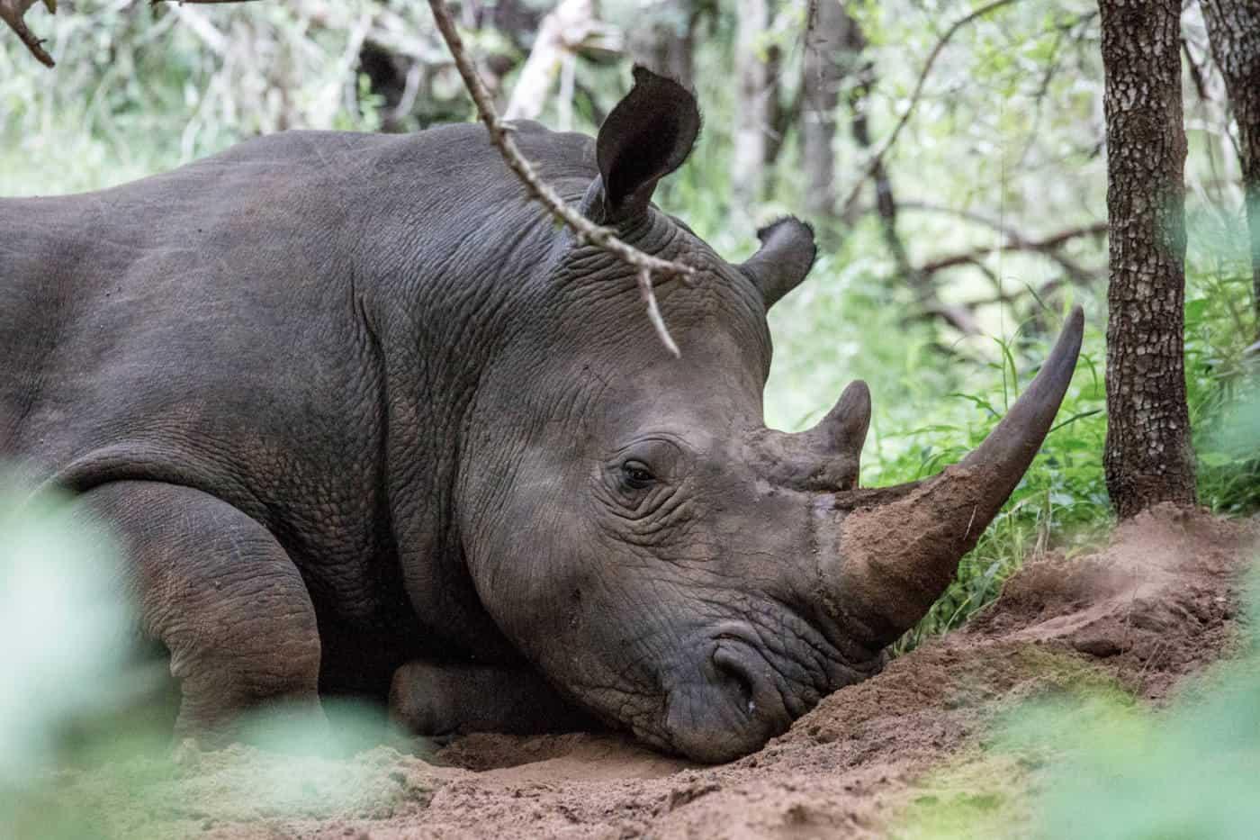 Seeing a white rhino on a Mkhaya Game Reserve safari