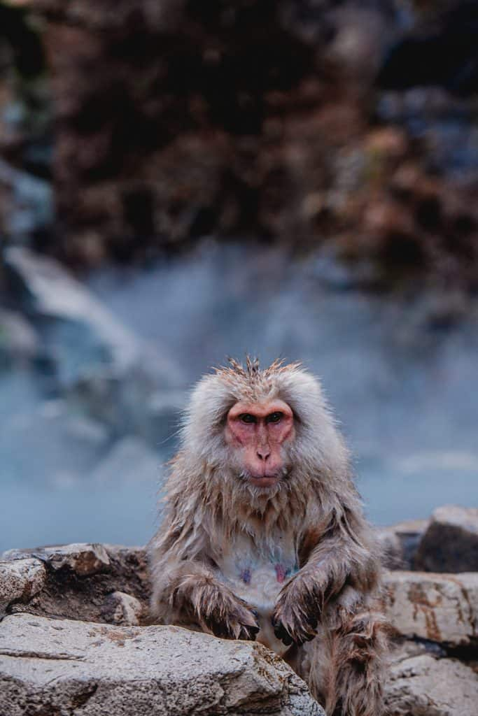 Japanese snow monkeys at the Jigokudani monkey park in Japan-15