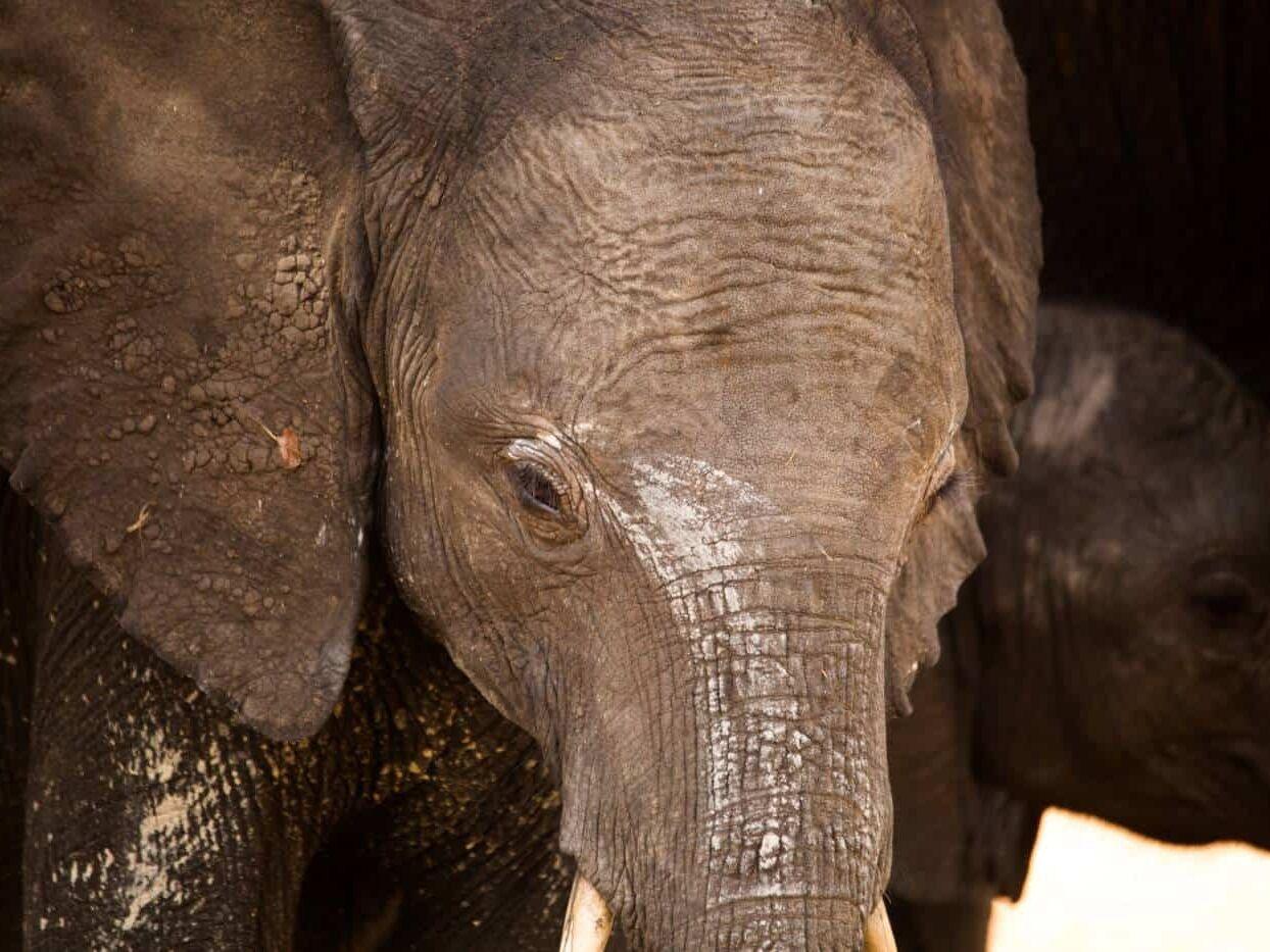 baby elephant chobe botswana