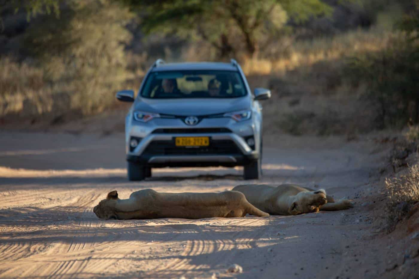 self drive safari in kgalagadi transfrontier park lions on the road
