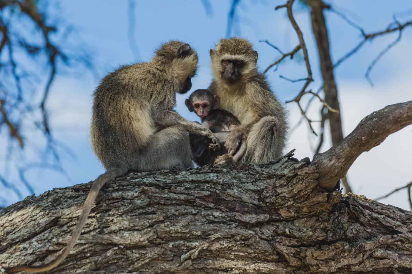 vervit monkeys kruger national park south africa