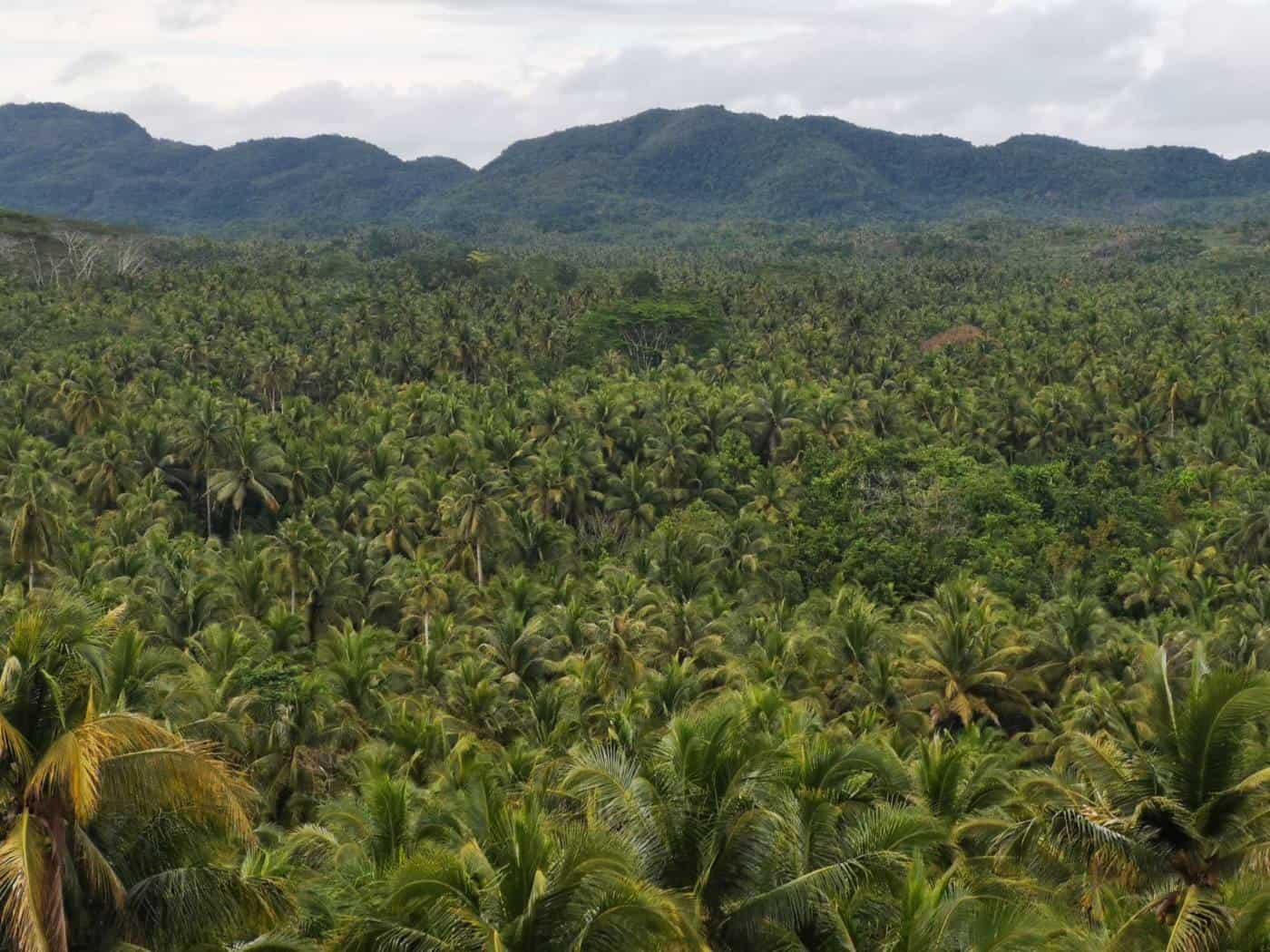 Top of the road palm forest Siargao