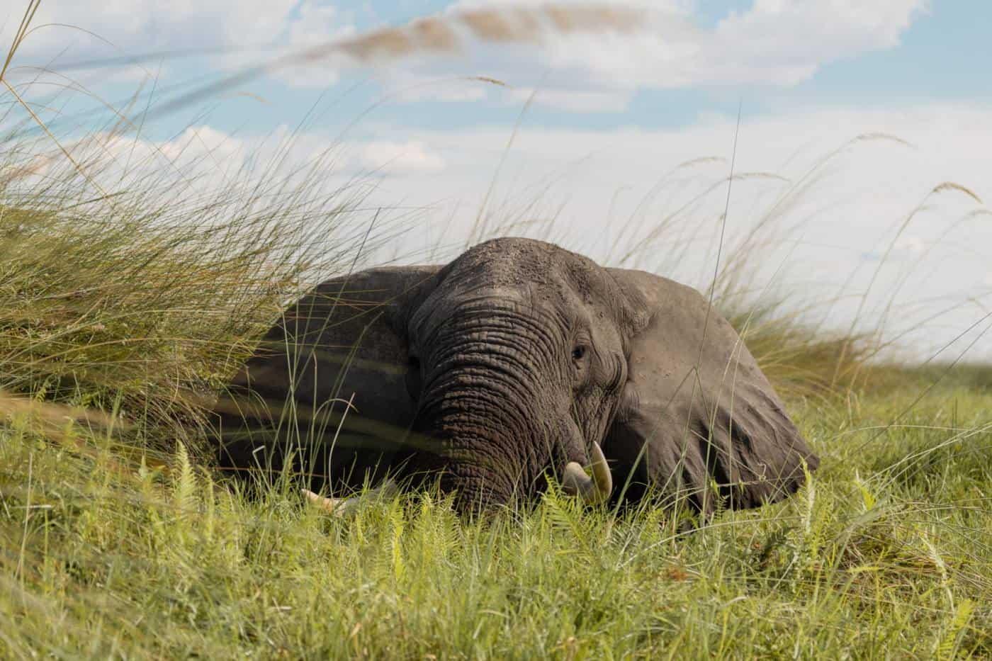 Okavango Delta on a budget safari elephant