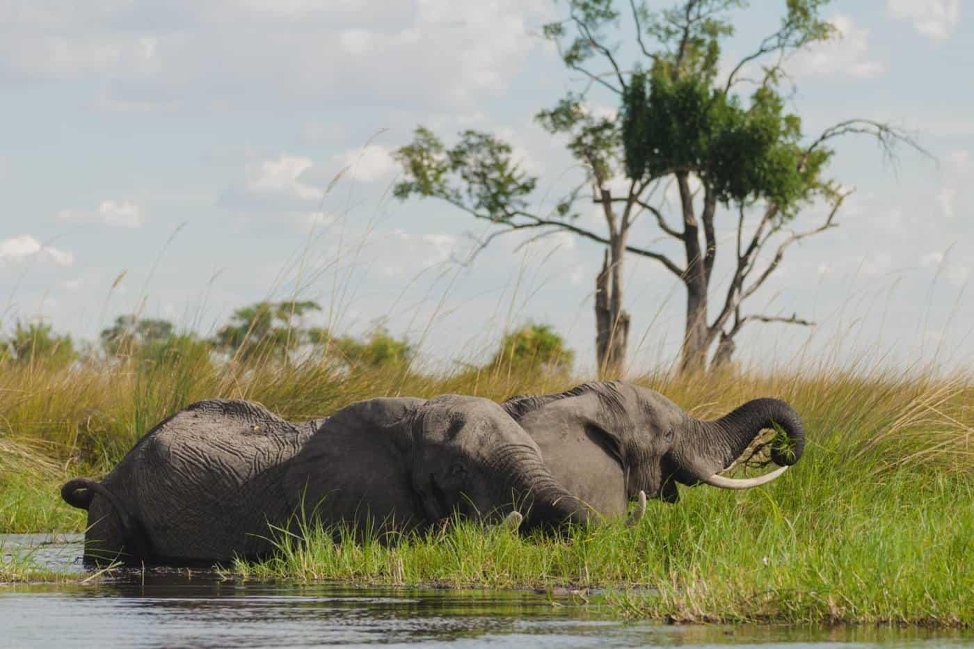 Elephant in the Okavango Delta Botswana safari