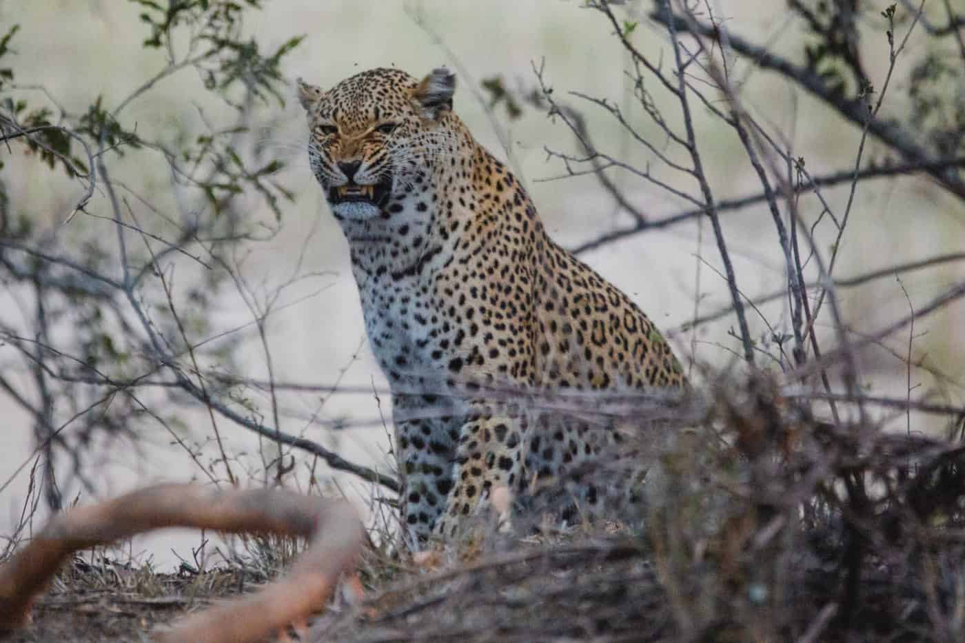 leopard kruger national park south africa
