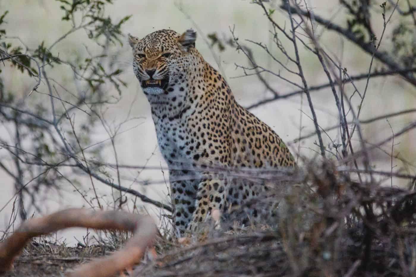 leopard kruger national park south africa