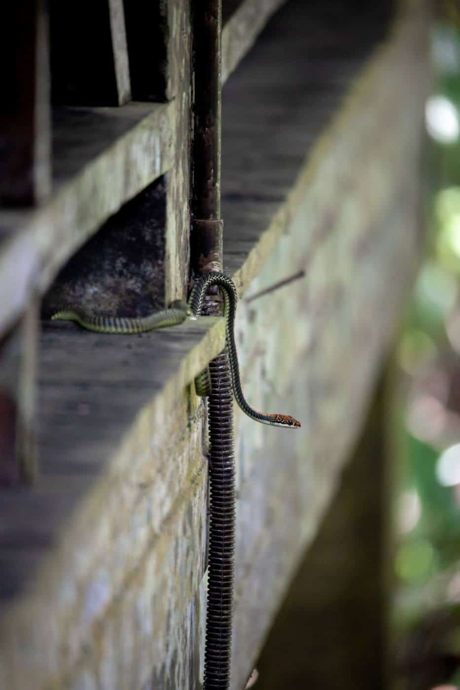 A paradise tree snake at Sukau Rainforest Lodge Borneo