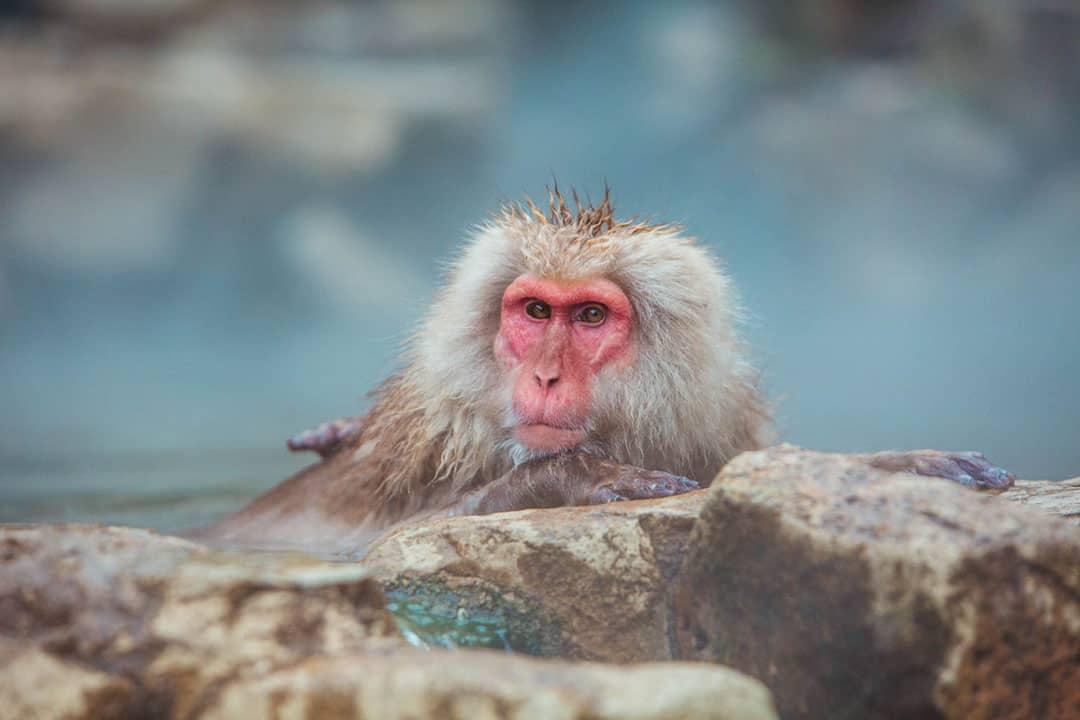monkeys in japanese hot springs