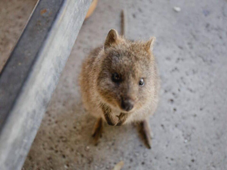 Quokka on Rottnest Island in Western Australia