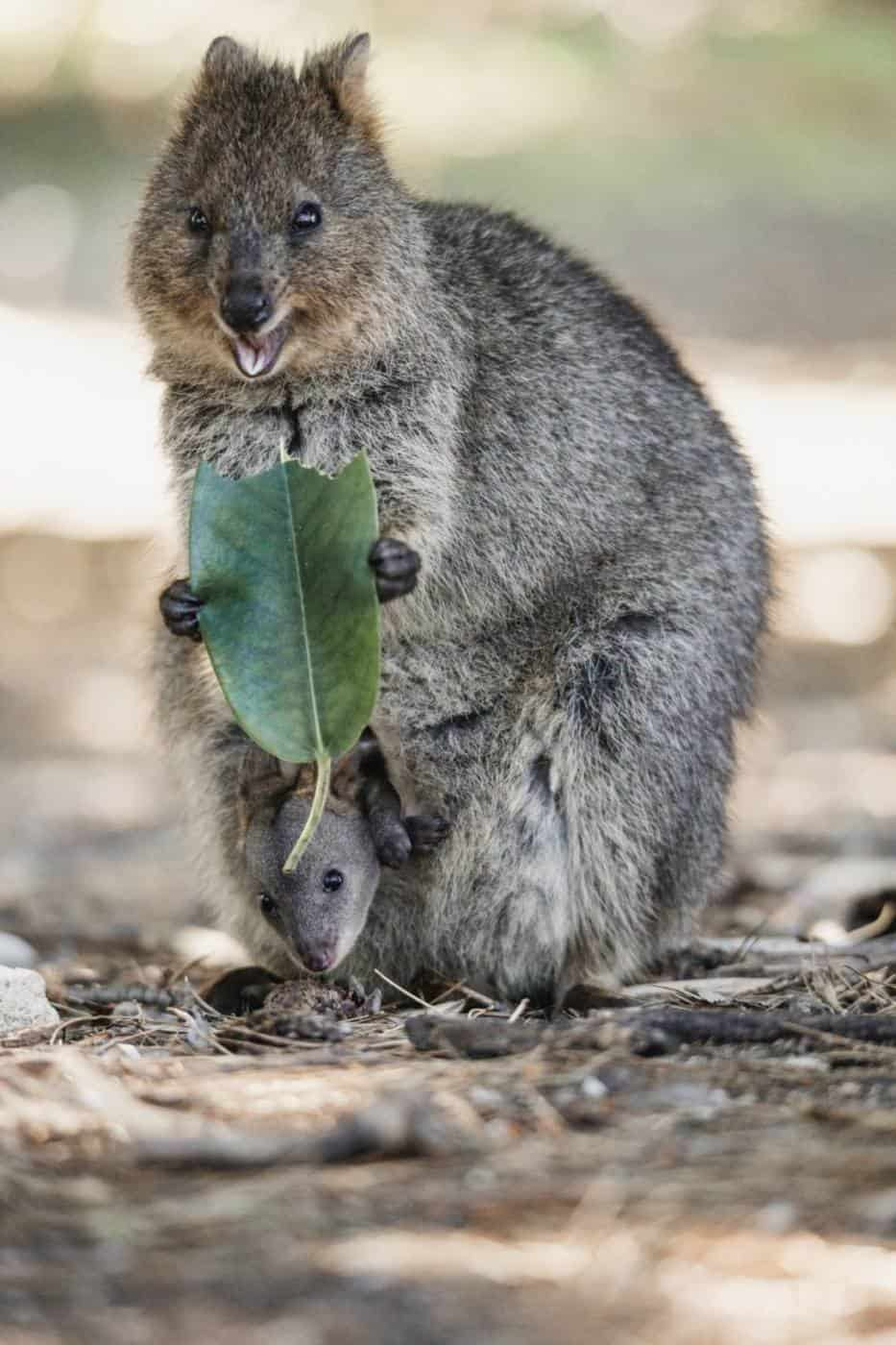 Quokka with joey on Rottnest Island