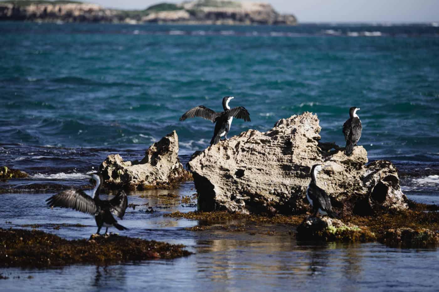 Cormorants off the coast of Perth on Bird Island