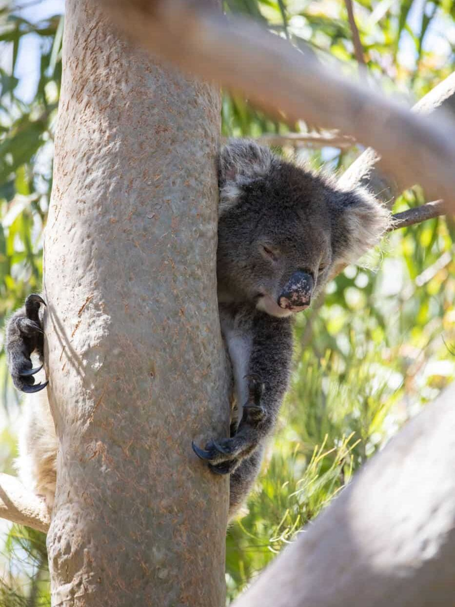 Koala in Yanchep National Park near Perth