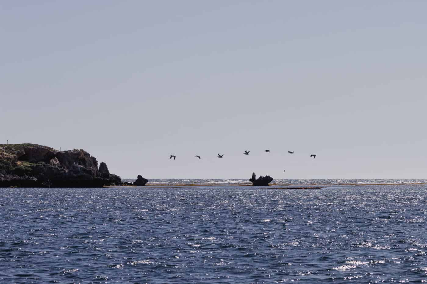 Pelican on Penguin Island Perth