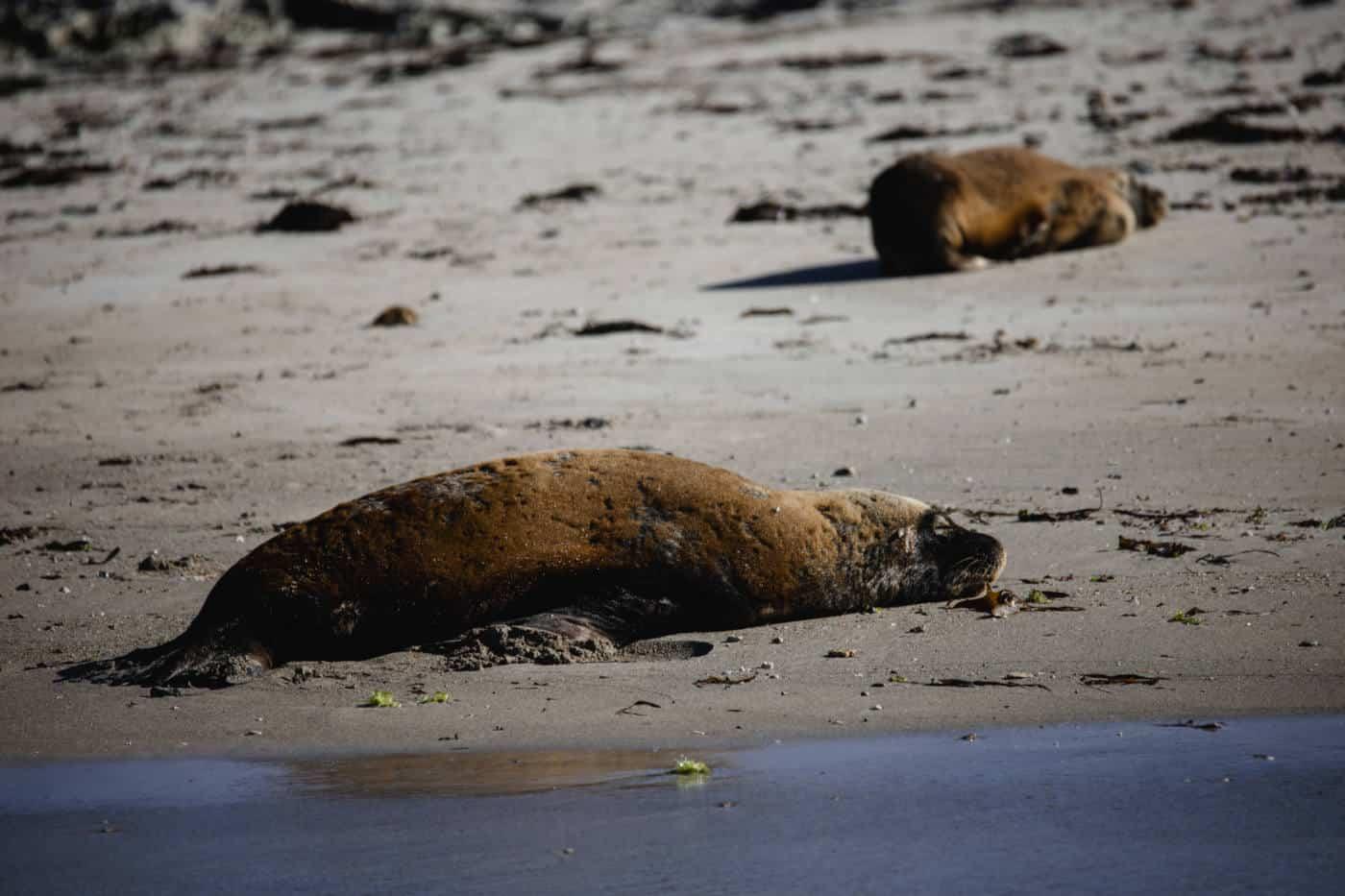 Australian sea lions off the coast of Perth on Seal Island-2