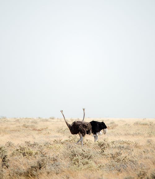 Two ostriches in Etosha National Park in Namibia