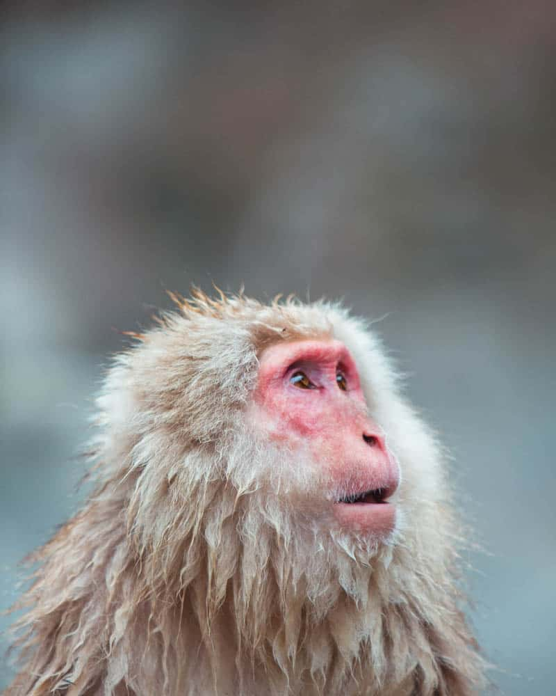 Japanese Snow Monkey in Jigokudani Monkey Park