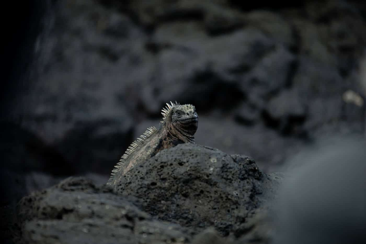 A marine iguana in the Galapagos Islands
