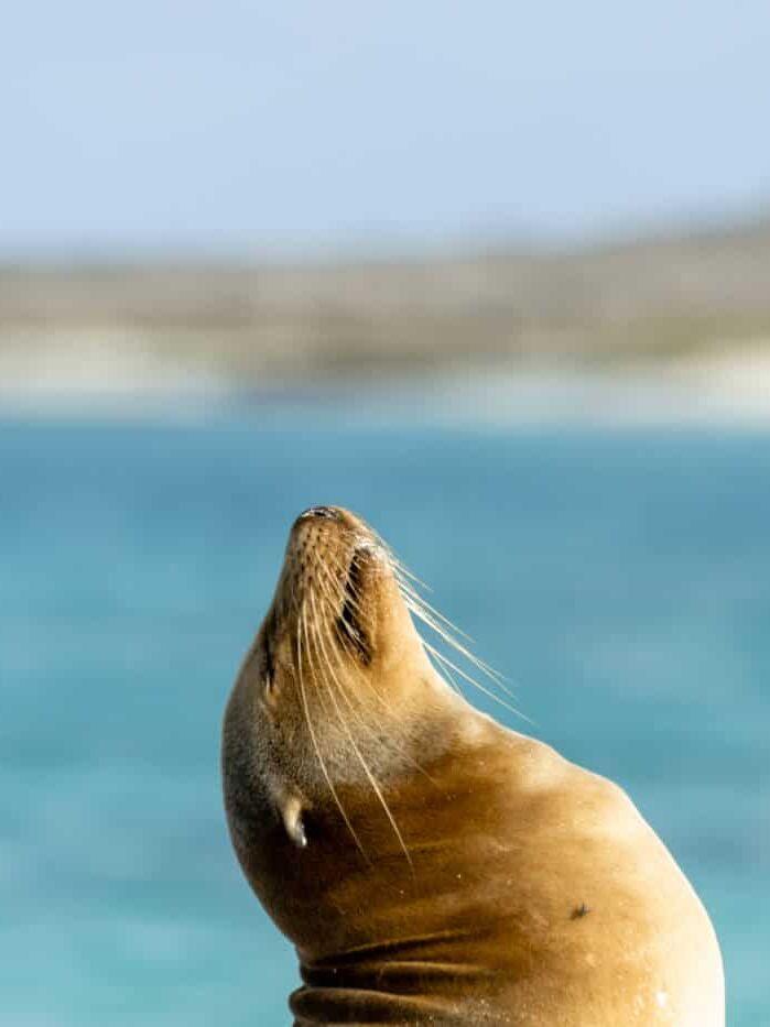A sea lion raising its head on Espanola Island in the Galapagos