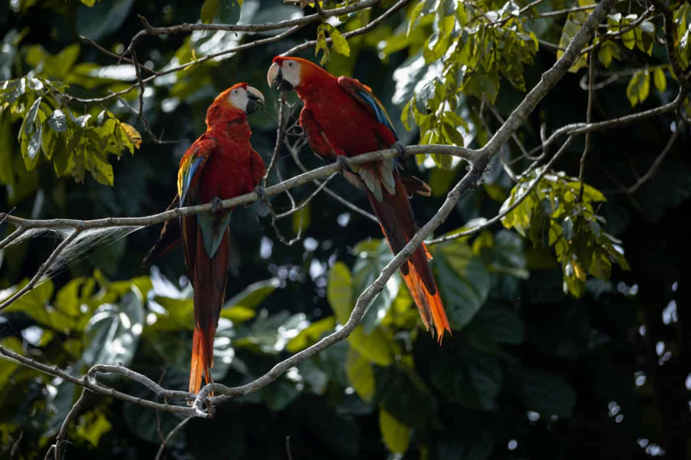 Scarlet macaws in the Amazon rainforest in Ecuador