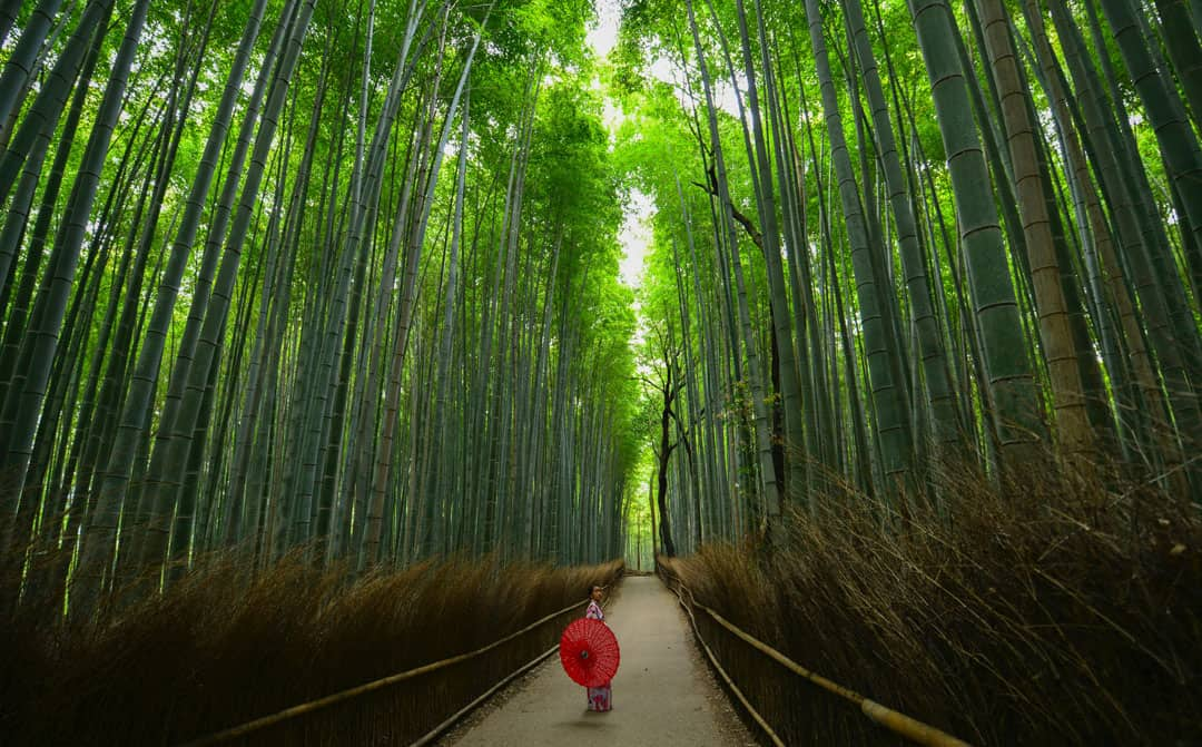 A woman in traditional Japanese dress walks through a forest of bamboo