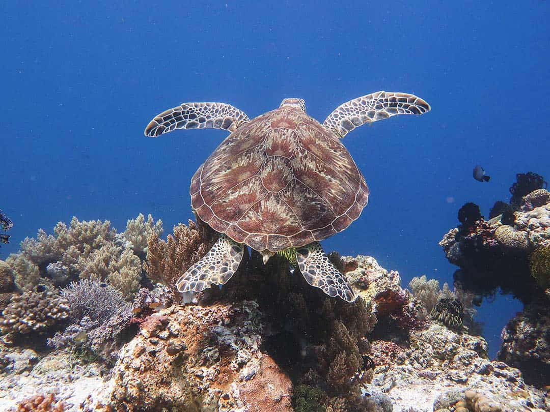 A sea turtle swimming over coral in Balicasag Island, Philippines