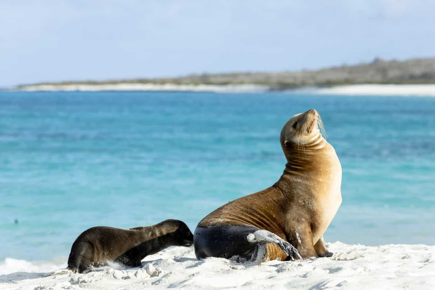 A mother and baby sea lion on a white sand beach in the Galapagos Islands