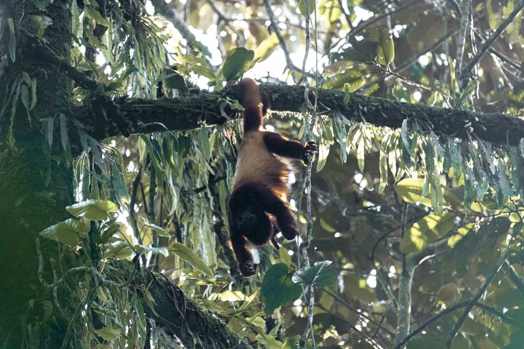 A howler monkey at the Barbas-Bremen Reserve in Filandia Colombia