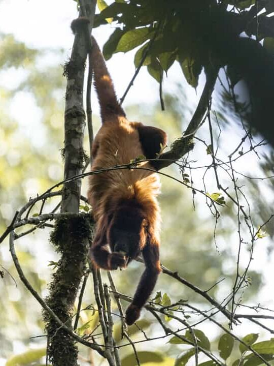 A howler monkey climbing a tree in the Barbas Bremen nature reserve in Filandia Colombia