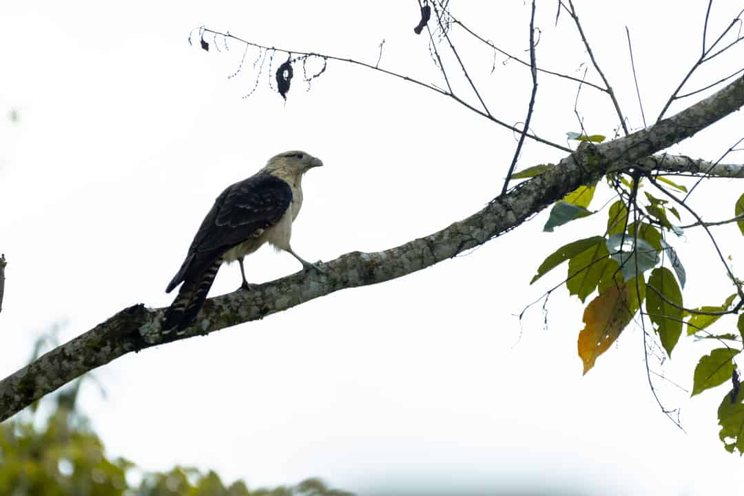 A caracara bird in the Barbas-Bremen Nature Reserve in Filandia Colombia