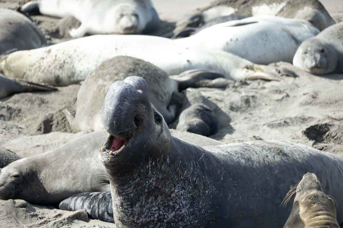 An elephant seal in California USA