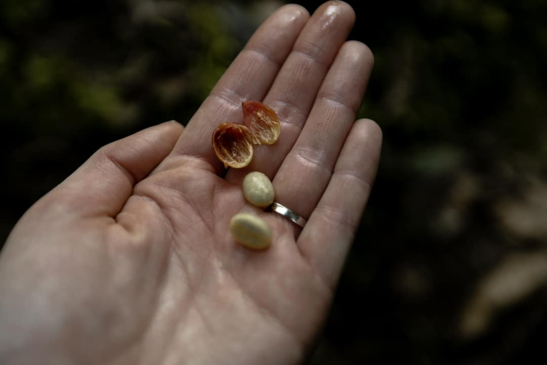 A hand holding coffee beans on a coffee farm in Filandia Quindio Colombia