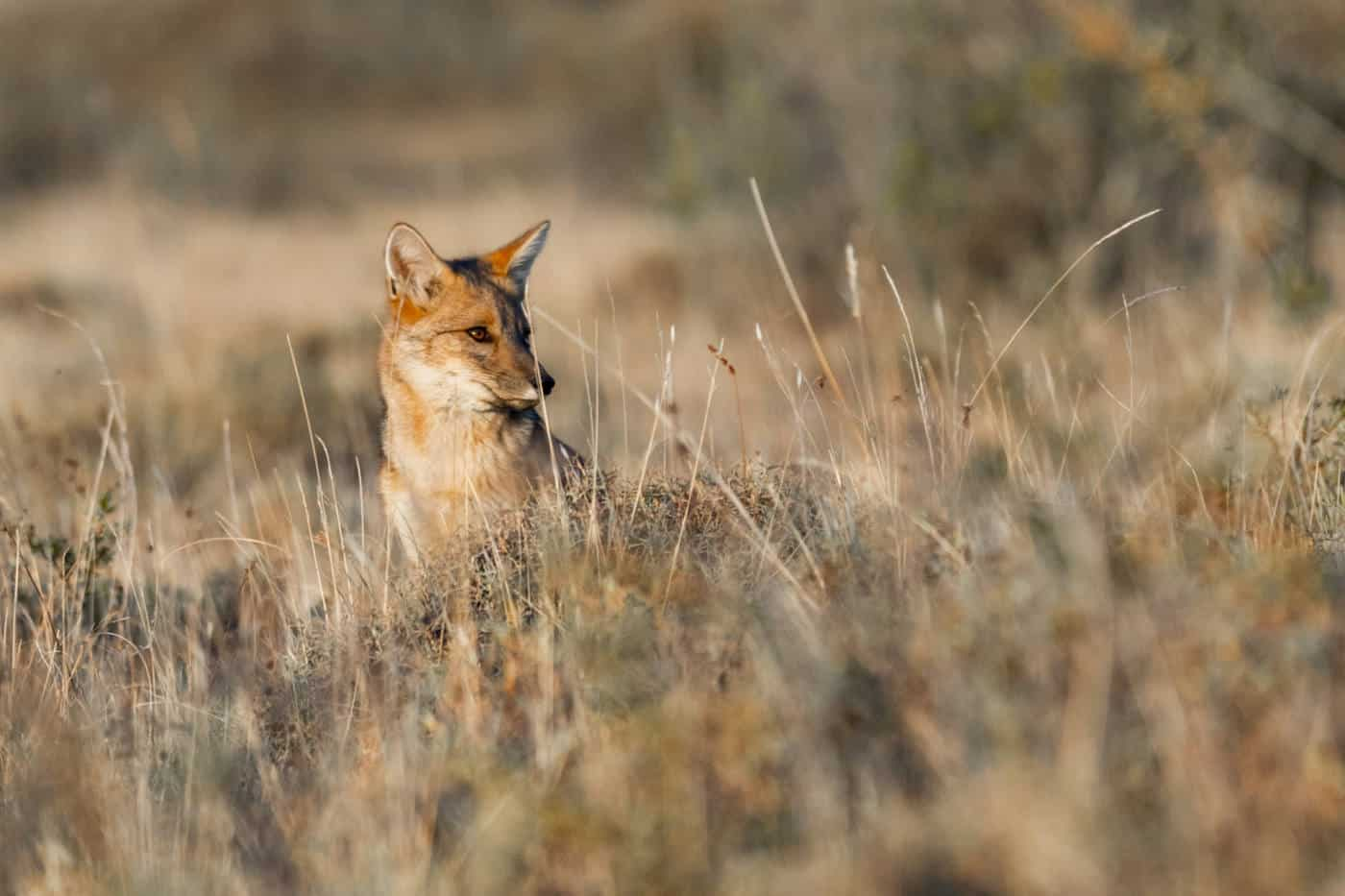 A Patagonian fox in Argentina